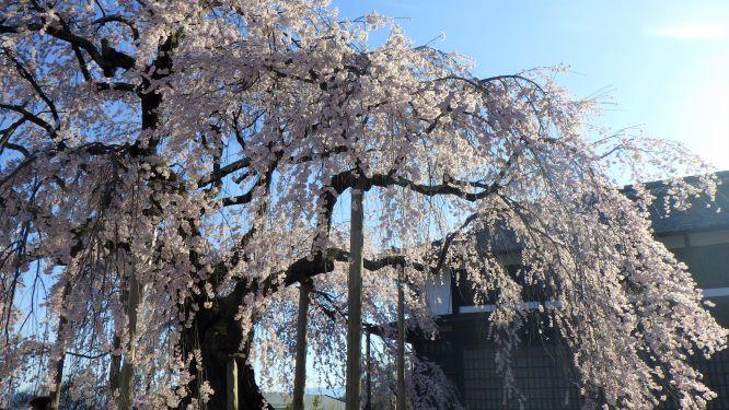 butaizakura1.JPG